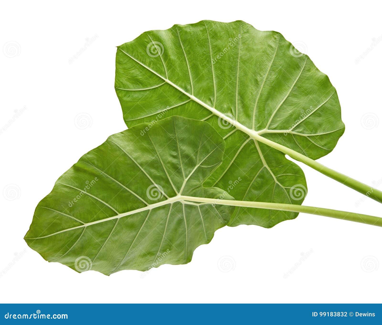 Colocasiabladet, stor grön lövverk kallade också denvädrade liljan eller det jätte- upprätta elefantörat som isolerades på vit ba