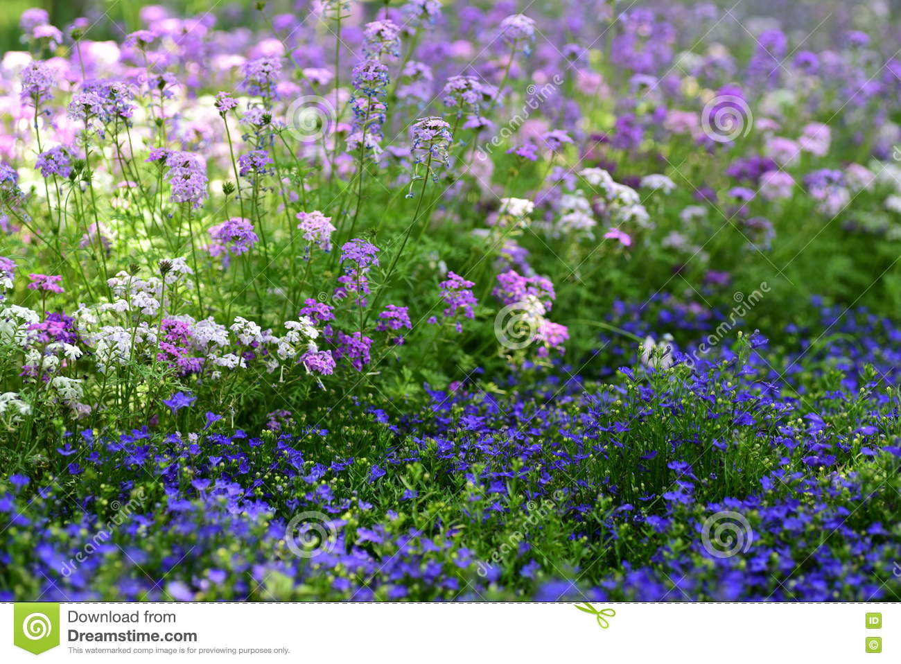 Coloful Garden Verbena Flowers Stock Image , Image of