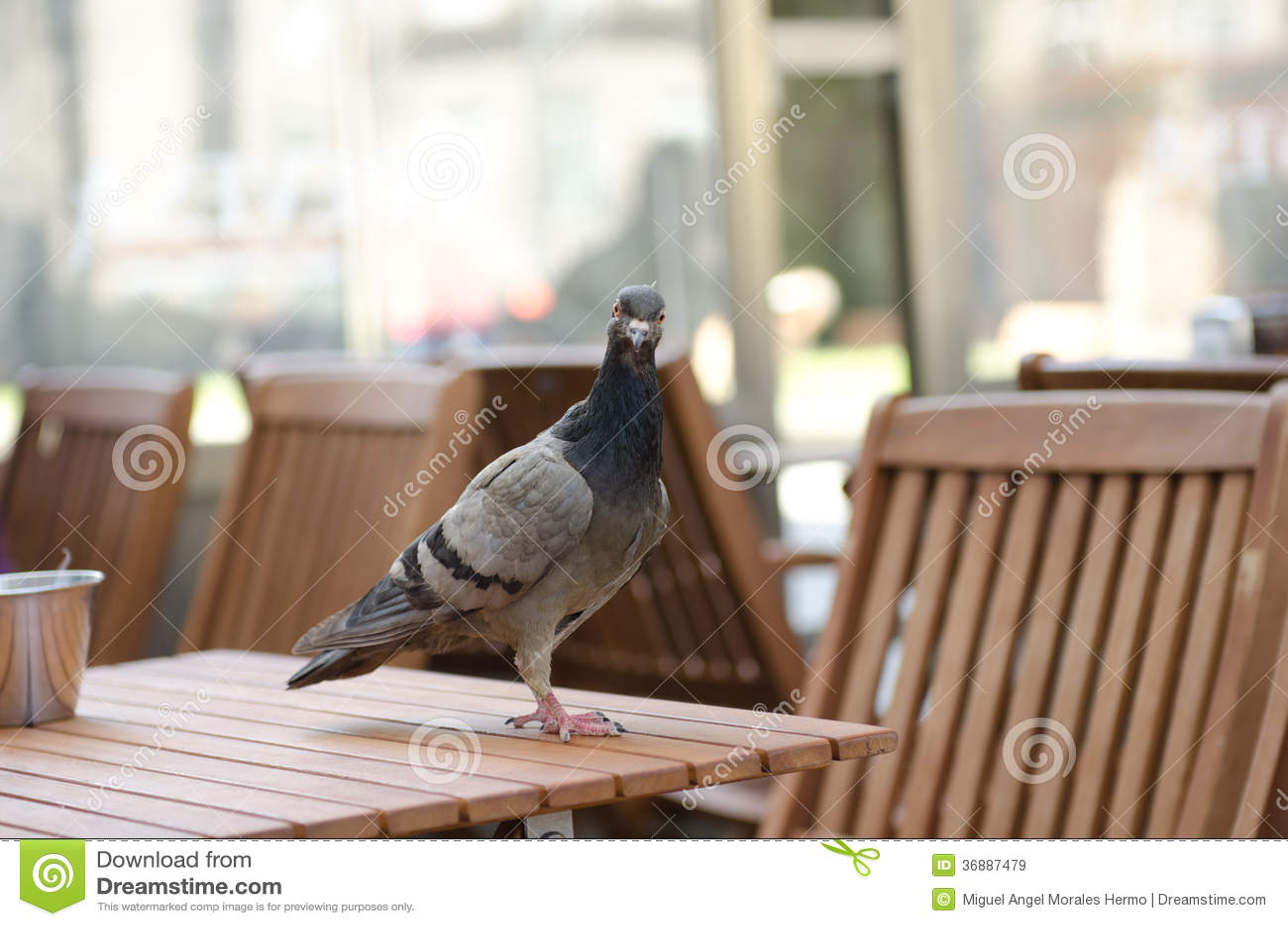 Download Colomba urbana immagine stock. Immagine di uccello, reale - 36887479