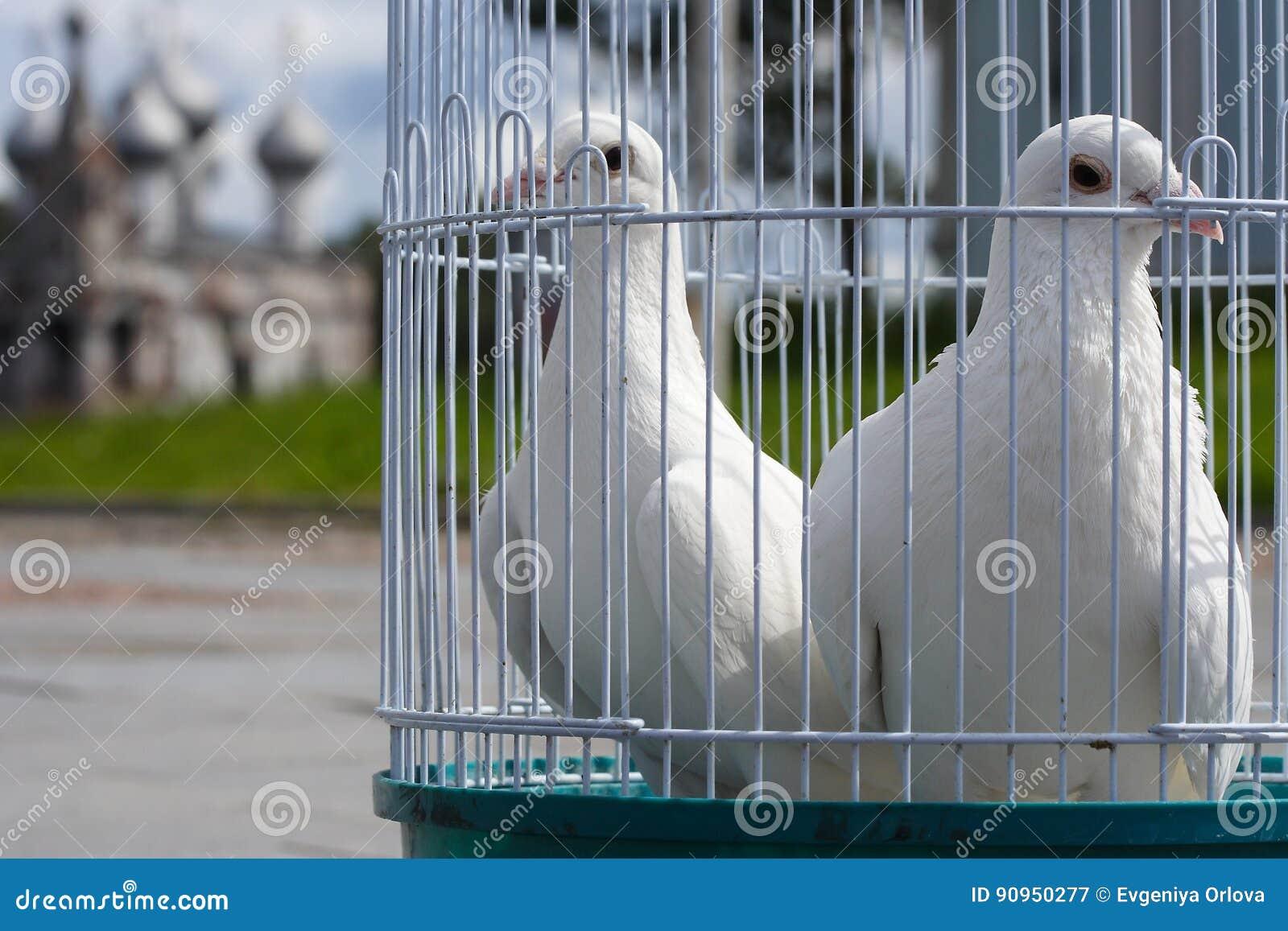 Colombe Bianche Per Le Nozze In Un Birdcage Uccello Bianco In Una
