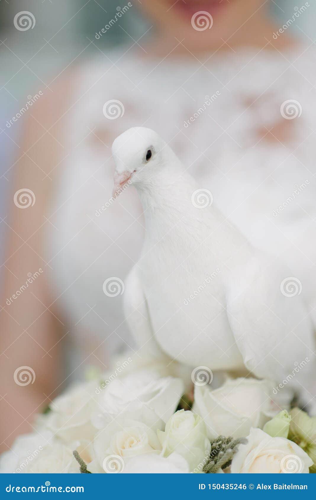 Colombe blanche dans les mains de la jeune mari?e La jeune mariée tient une colombe blanche dans leurs mains