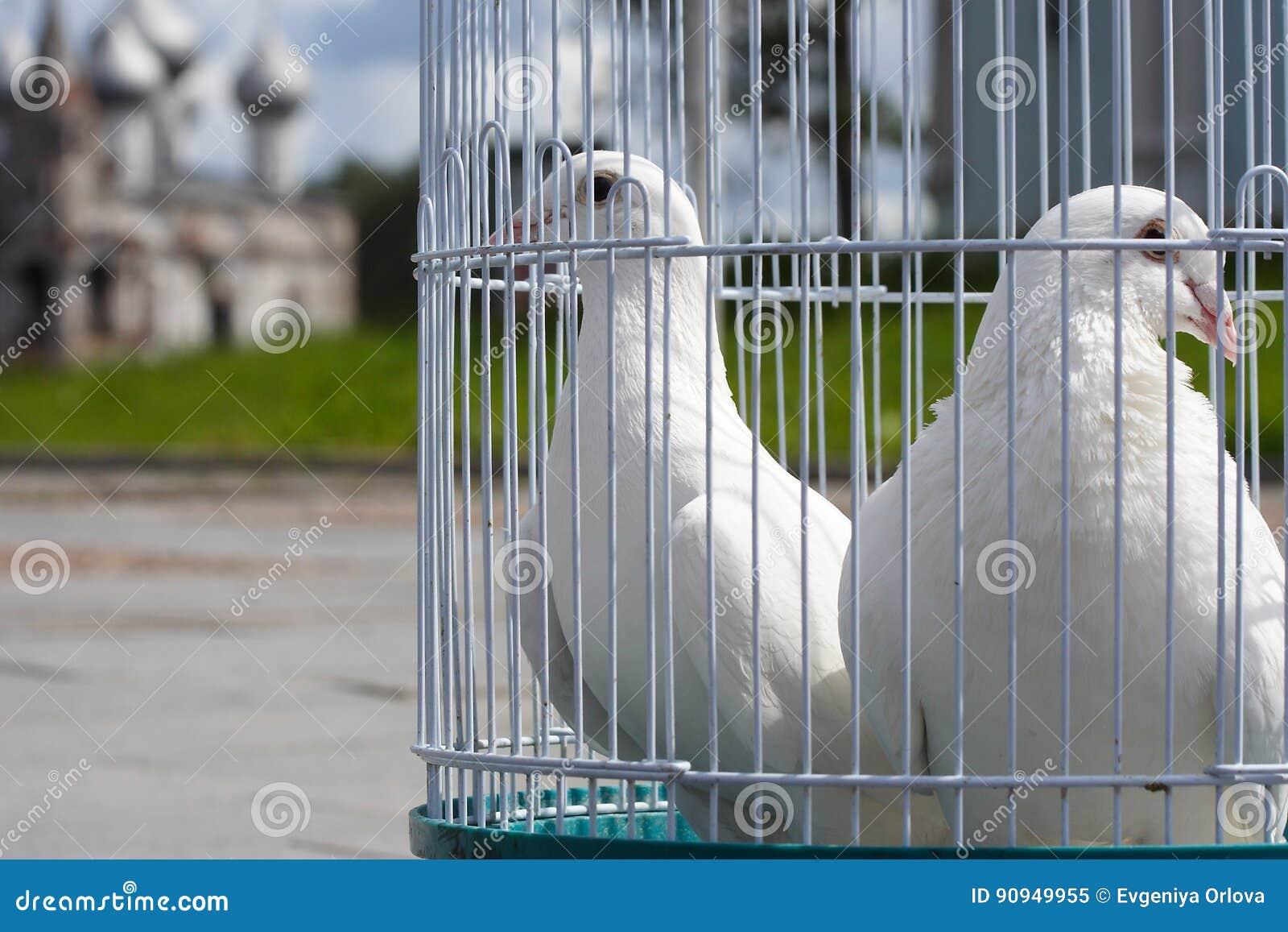 colombes blanches pour un mariage dans une cage oiseaux oiseau blanc dans une cage image. Black Bedroom Furniture Sets. Home Design Ideas