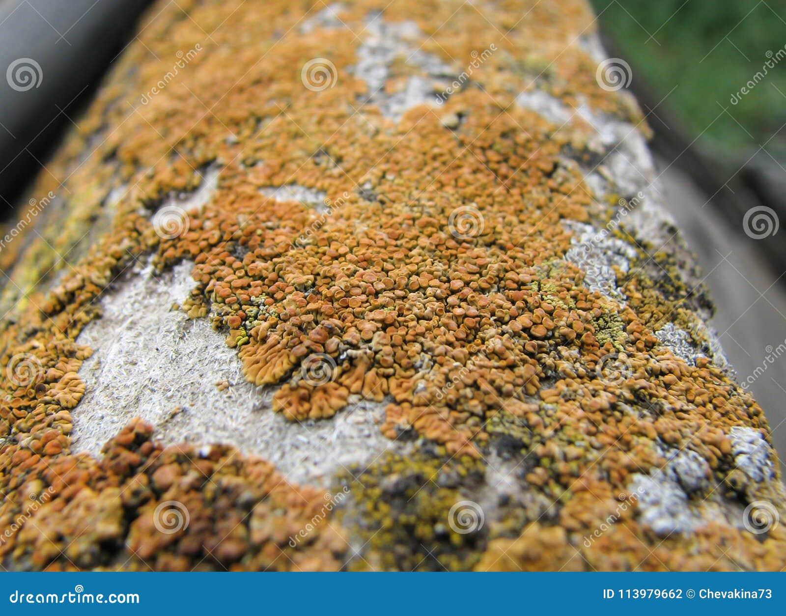 Colonia arancio del primo piano del fungo