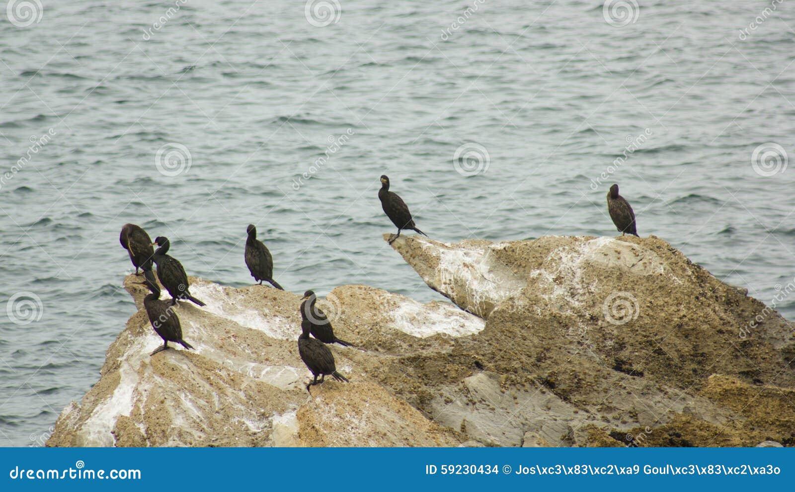 Colonia de los cormoranes (Galhetas en portugués popular) en una roca en el pueblo de Baleal, Peniche, distrito de Leiria, Portug