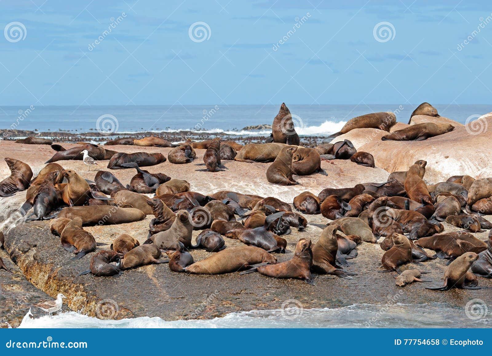Colonia del lobo marino de Brown