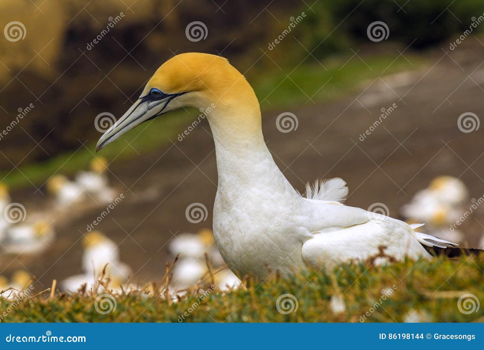Colonia del pájaro de Gannet en la playa Auckland Nueva Zelanda de Muriwai