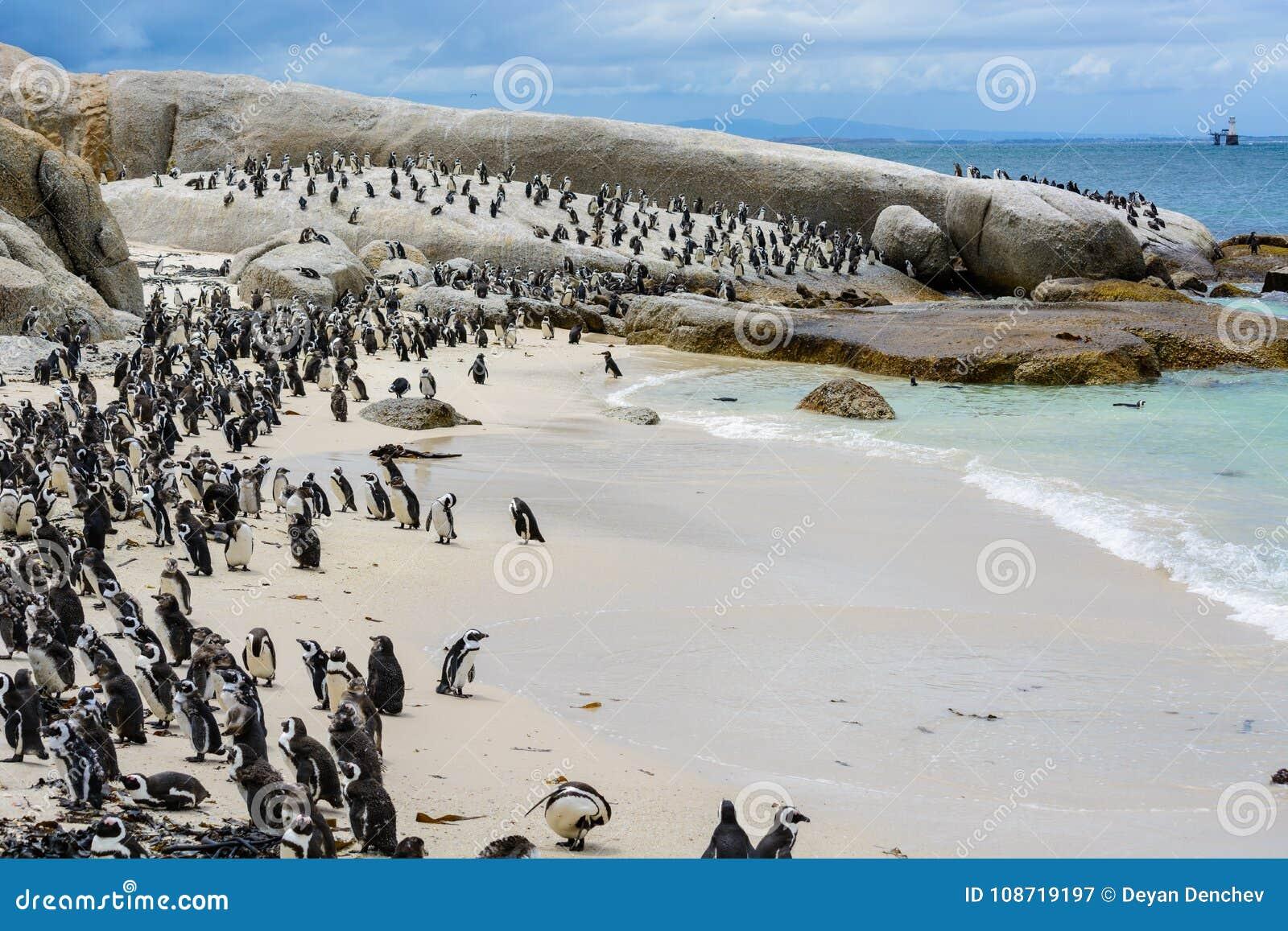 Colonia del pinguino sulla spiaggia dei massi, Sudafrica