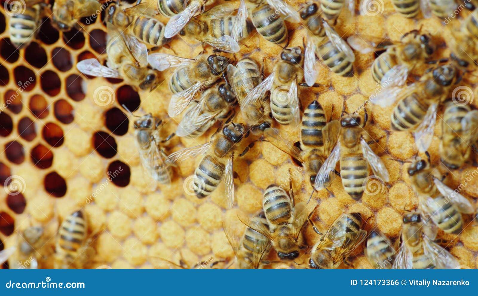 Colonia delle api che lavorano in un alveare