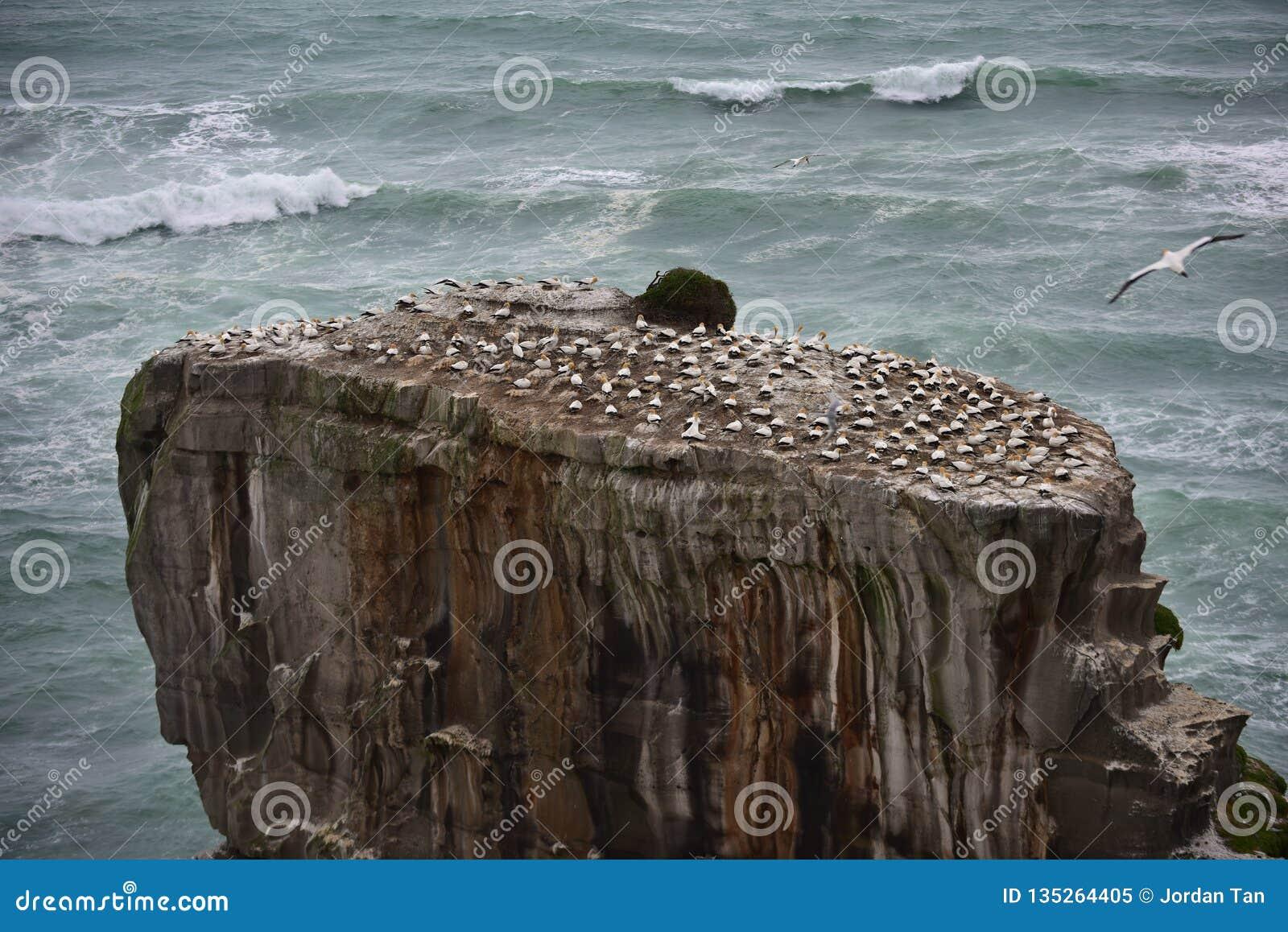 Colonia salvaje del gannet en la costa de Muriwai