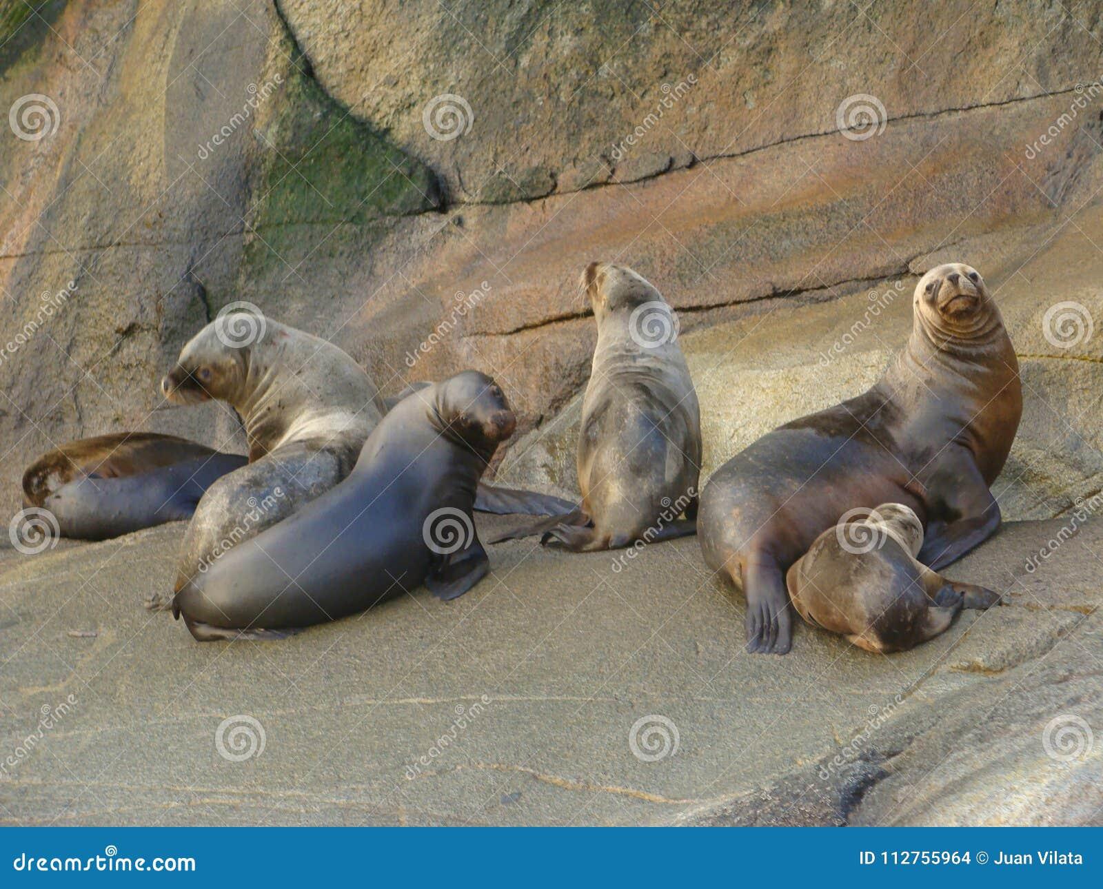Colonia suramericana de los flavescens del Otaria del león marino en Chile meridional