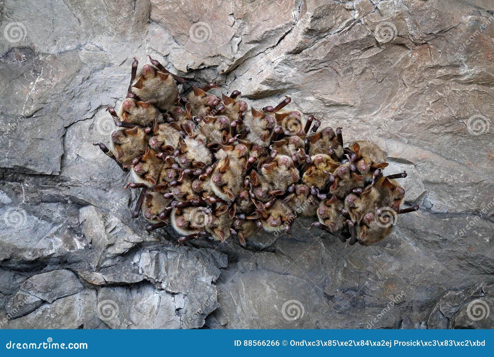 Colonie de batte en caverne Une plus grande chauve-souris souris-à oreilles, myotis de Myotis, dans l habitat de caverne de natur