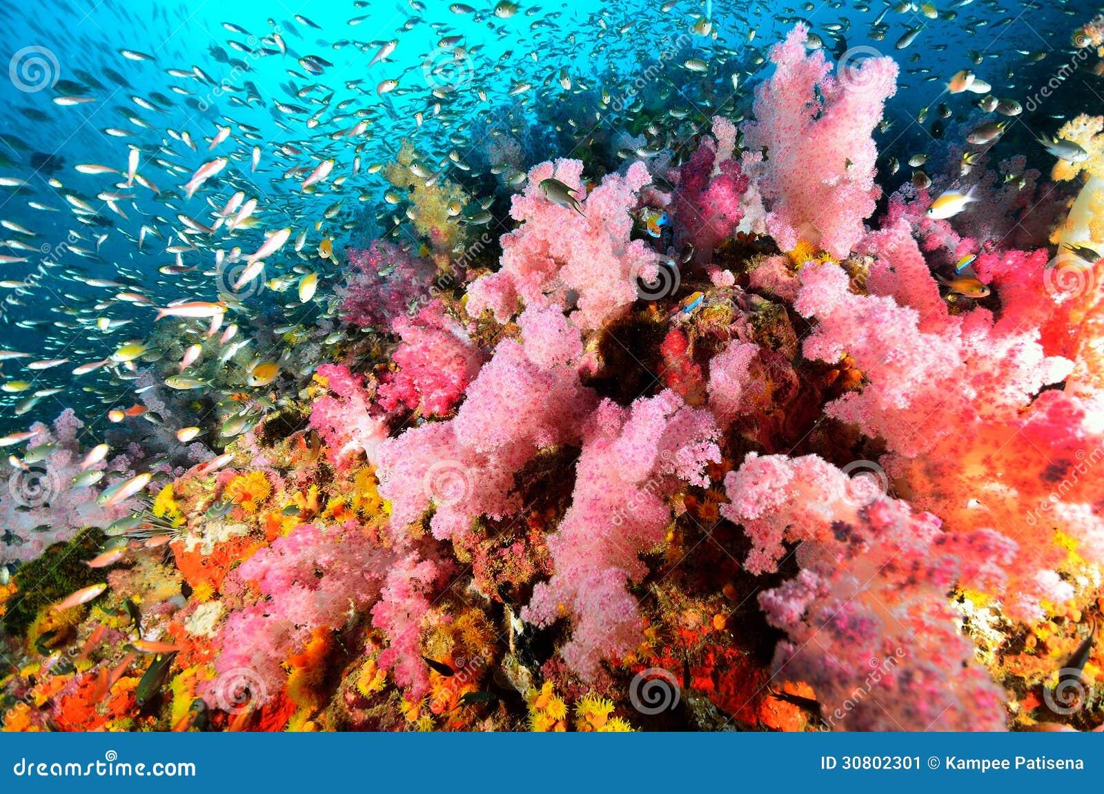 Colonie de corail molle, île de Similan