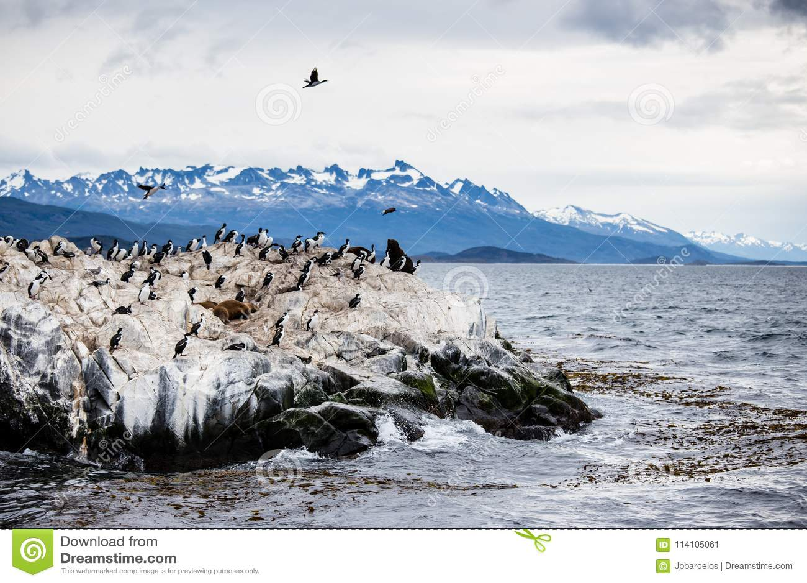 Colonie de Cormorant sur une île chez Ushuaia dans le détroit de briquet de la Manche de briquet, Tierra Del Fuego, Argentine