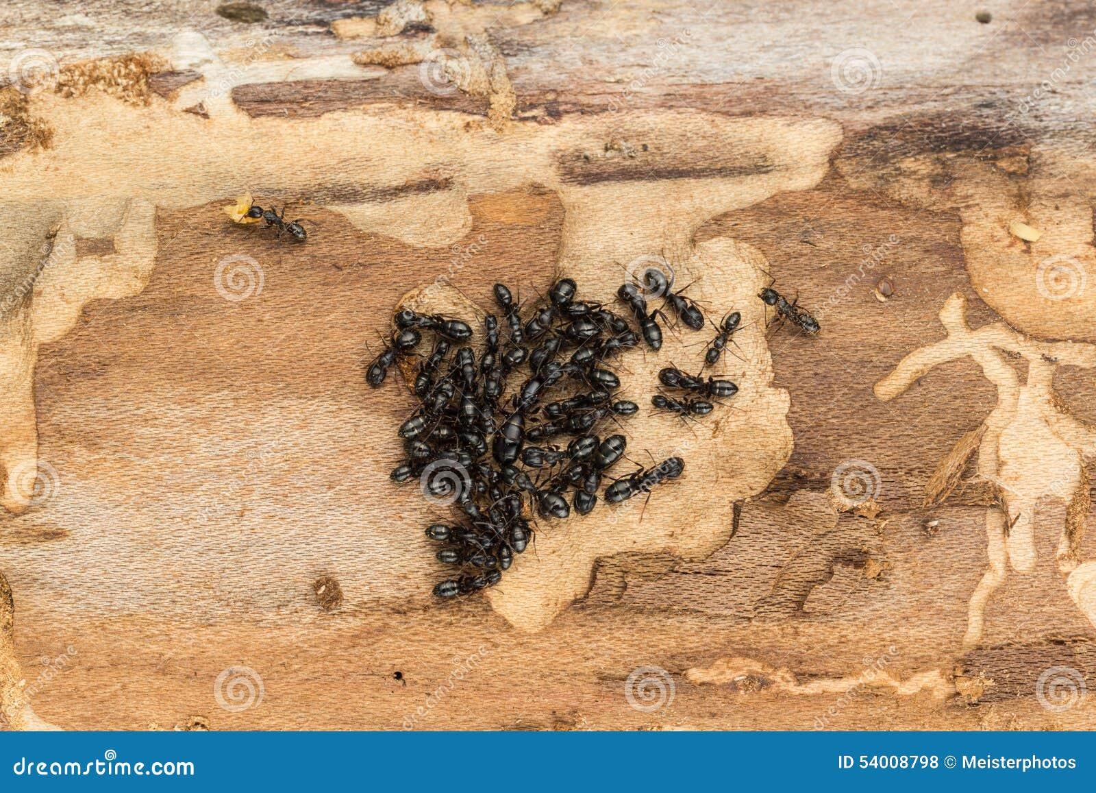 colonie noire de fourmi avec la reine photo stock image 54008798. Black Bedroom Furniture Sets. Home Design Ideas
