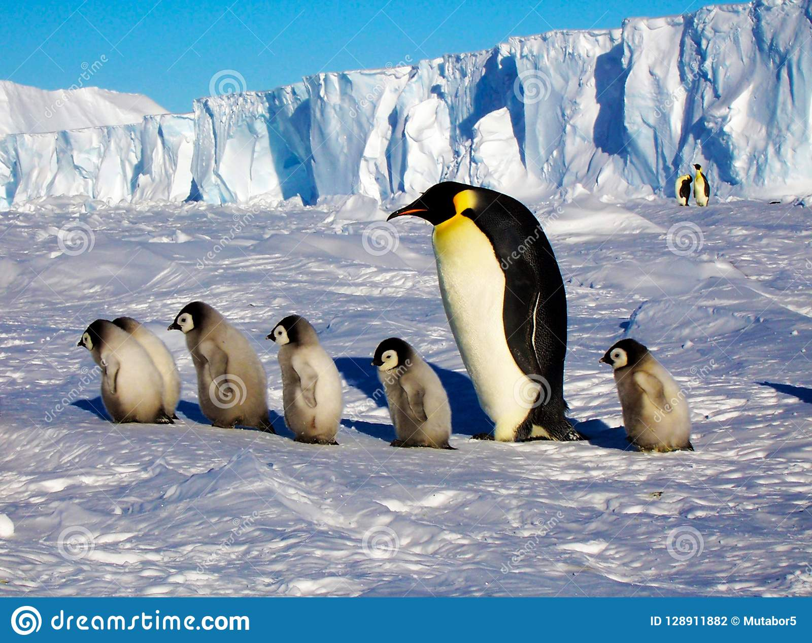 One penguin and several cubs are walk.The colony of Imperial penguins stands in the snow near the Iceberg. Shooting from the air.