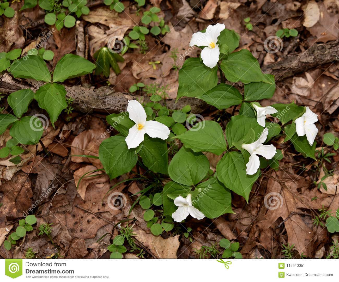 A Colony Of Large White Trillium Plants Emerging In A Spring