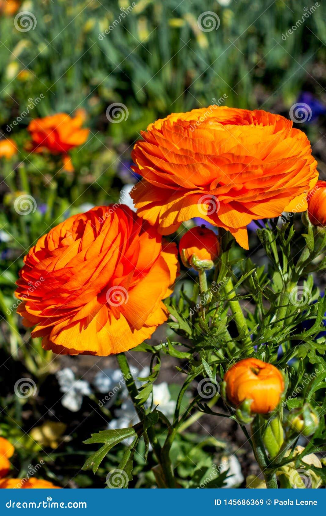Color anaranjado del ranúnculo hermoso en un jardín verde Primer de la flor colorida de la primavera