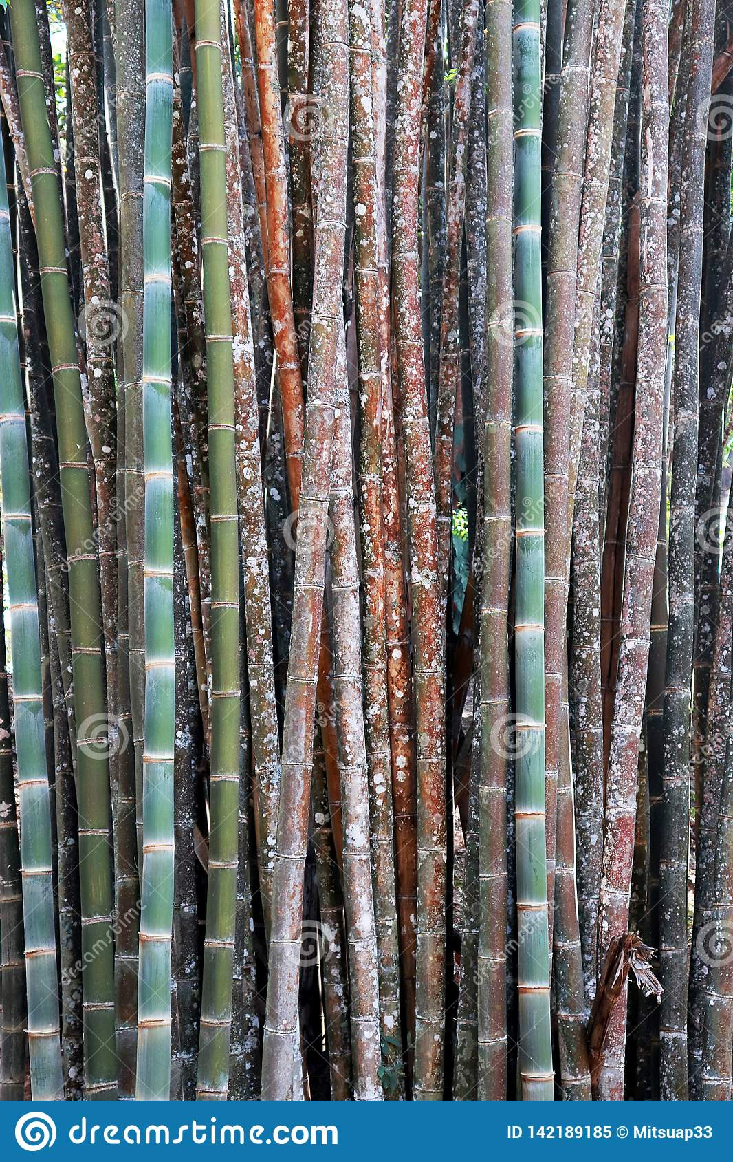 Color bamboo background, wallpaper, bamboo trunks in a grove in Chaingmai Thailand Asia