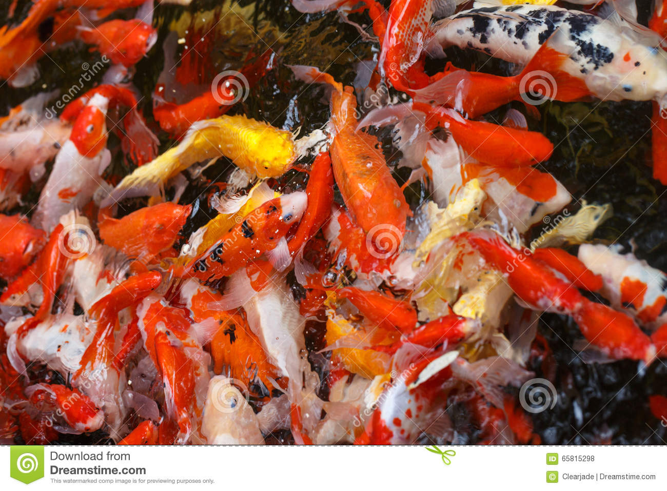Color carp in a pond stock photo. Image of color, asian - 65815298