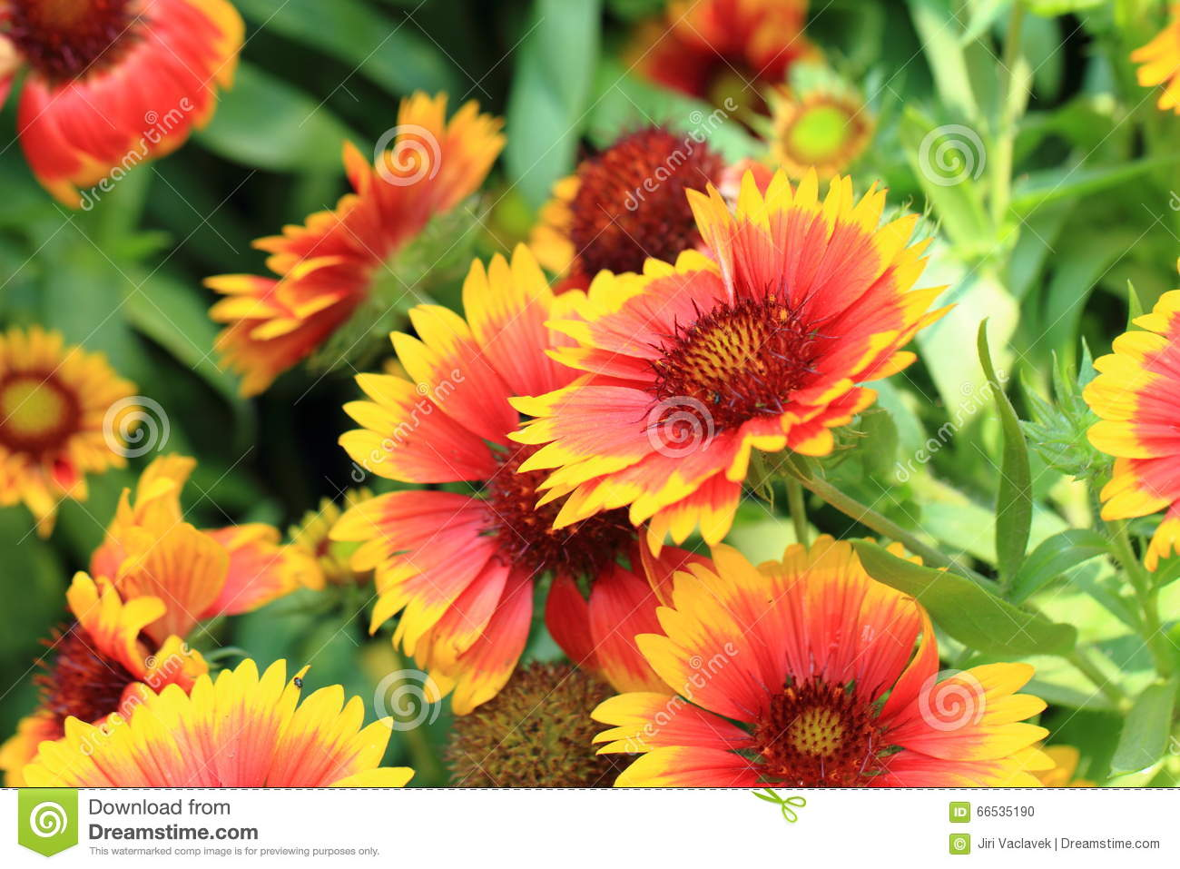 Color flowers background stock photo. Image of spring - 66535190