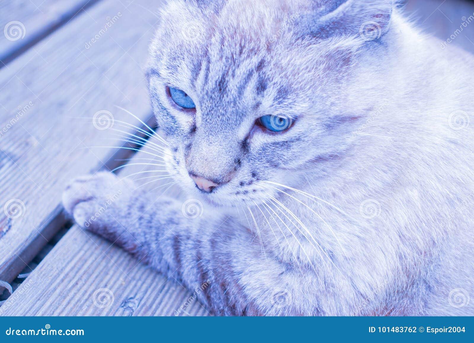 Color Gris-azul Del Gato Con Los Ojos Azules Foto de archivo ...