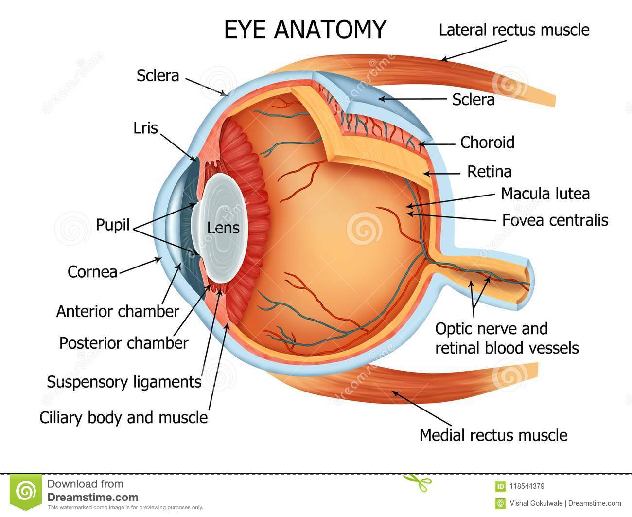 Human Eye Anatomy Stock Illustration Illustration Of Cornea 118544379