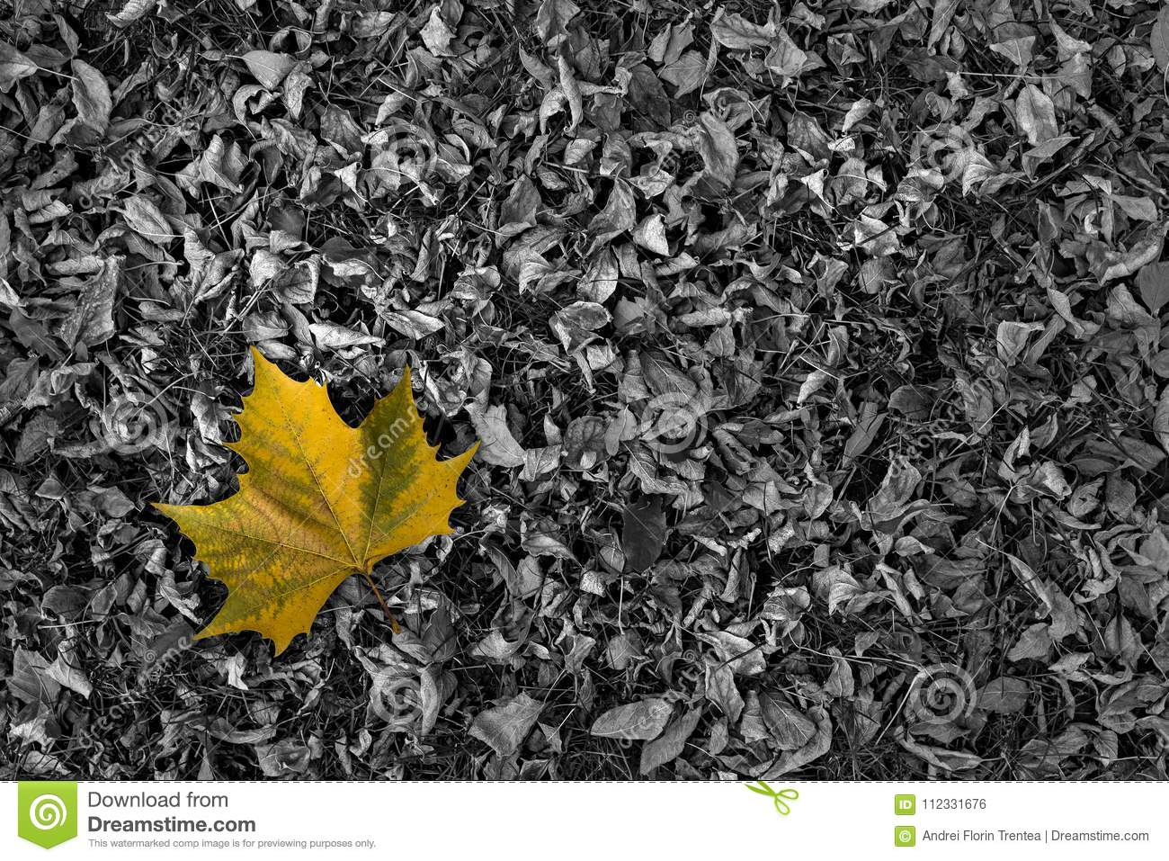 Single color leaf on black and white dry leaves bed in autumn