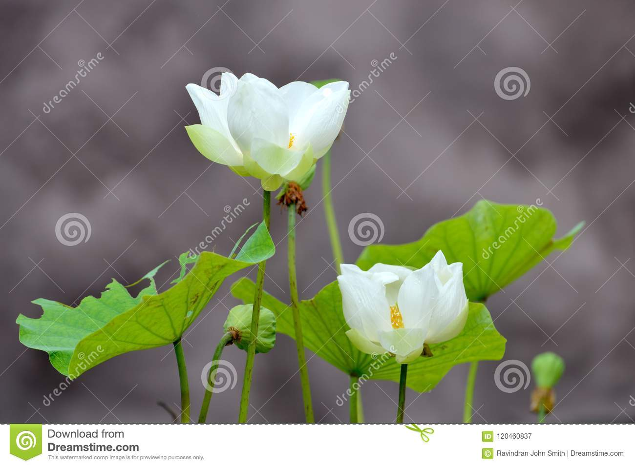 White Lotus Stock Image Image Of White Pink Affects 120460837