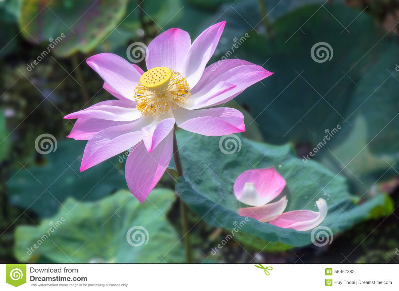 Color Lotus Flower Radiating Stock Photo Image Of Lily Like 56467382
