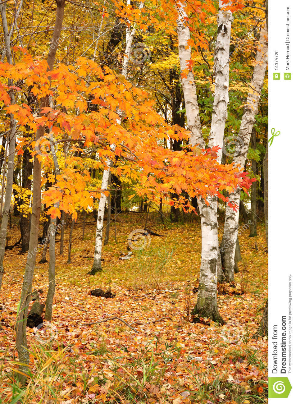 Color Maple Leaves and Birch Trees