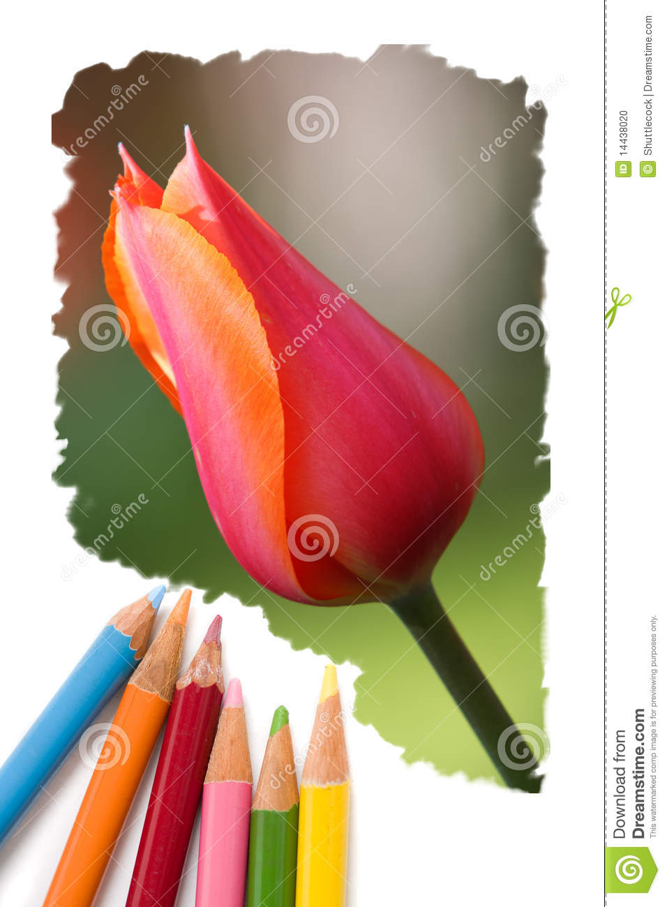 Color Pencil Drawing Tulip Flowers Stock Photo - Image of office ...