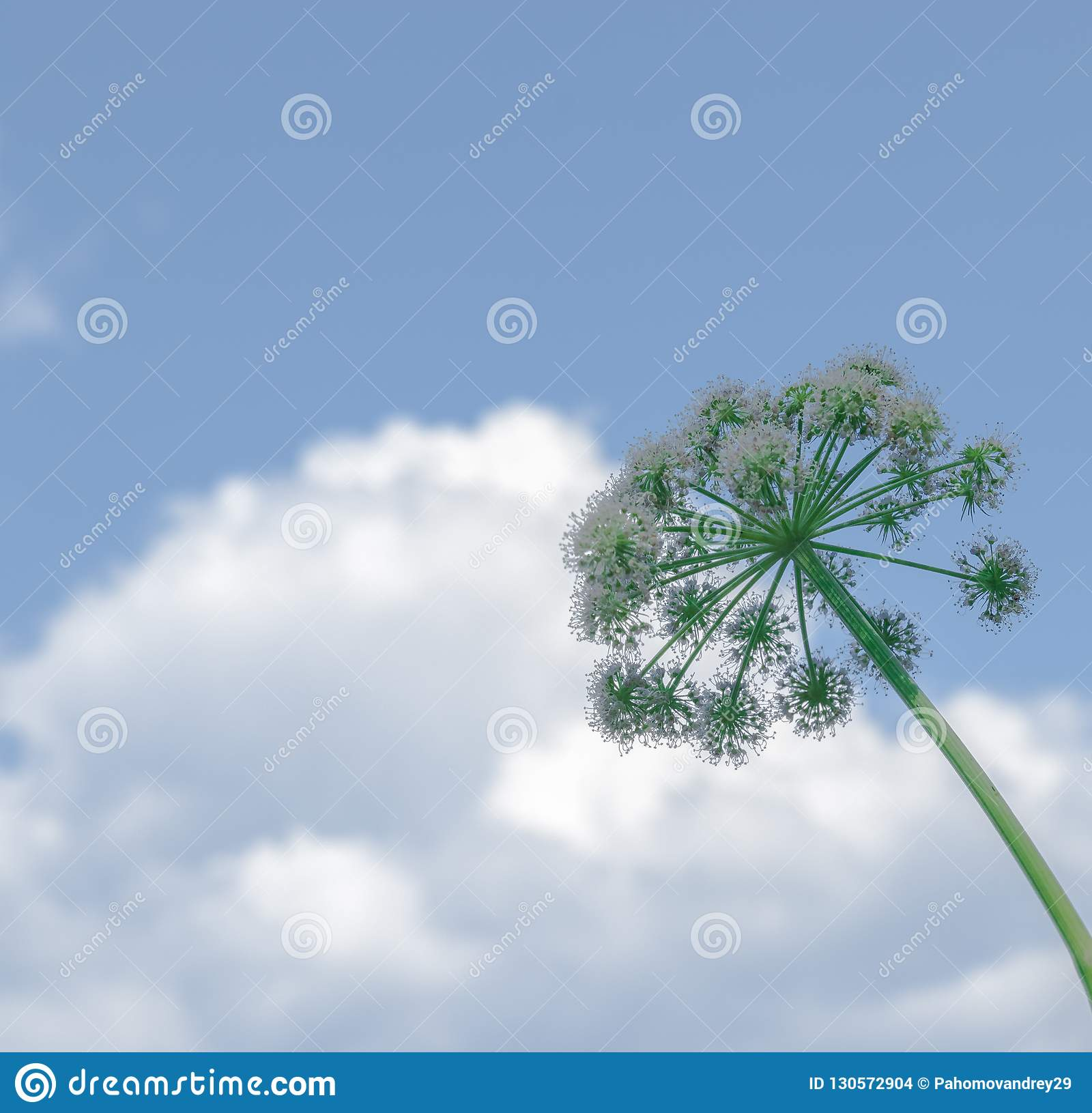 Color Photo Of White Dandelion Against Blue Sky With