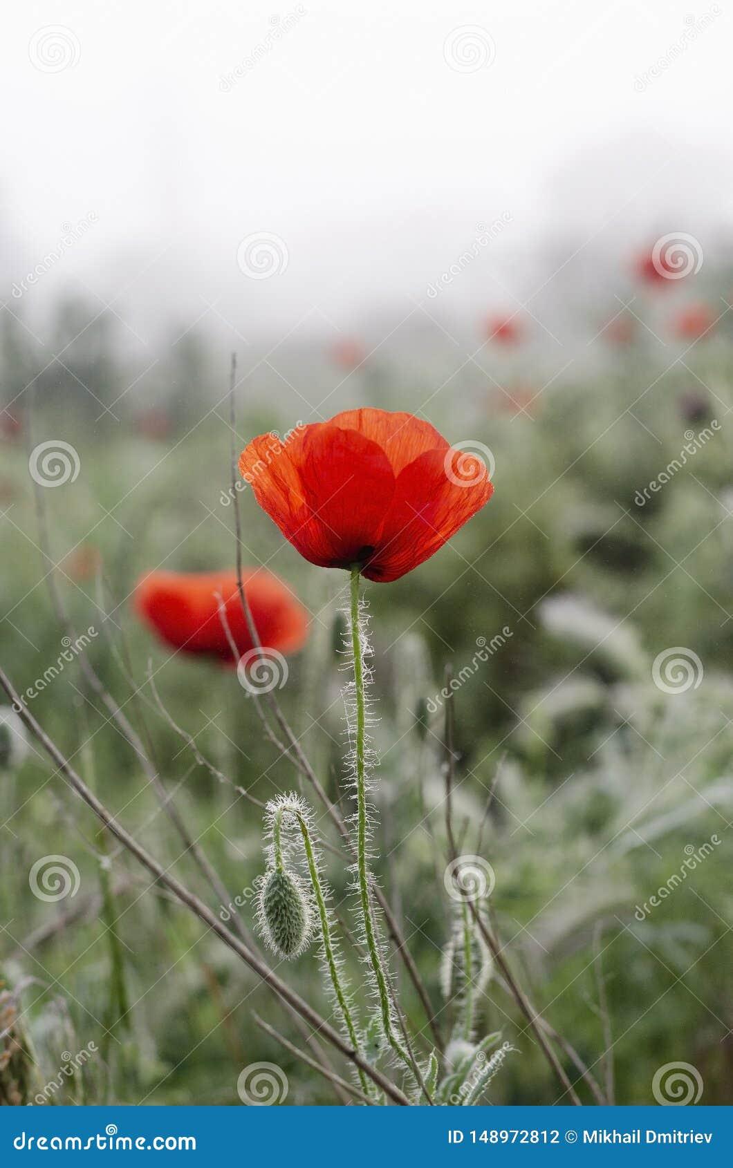Color scarlatto dei fiori del papavero nel campo Gocce di rugiada di mattina della primavera