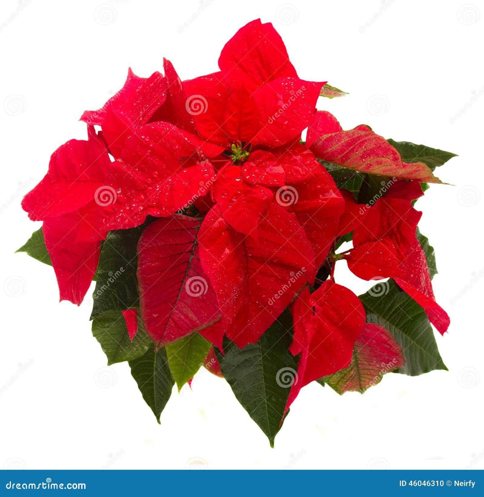 Stella Di Natale Fiore Cure.Color Scarlatto Del Fiore Della Stella Di Natale O Stella Di Natale