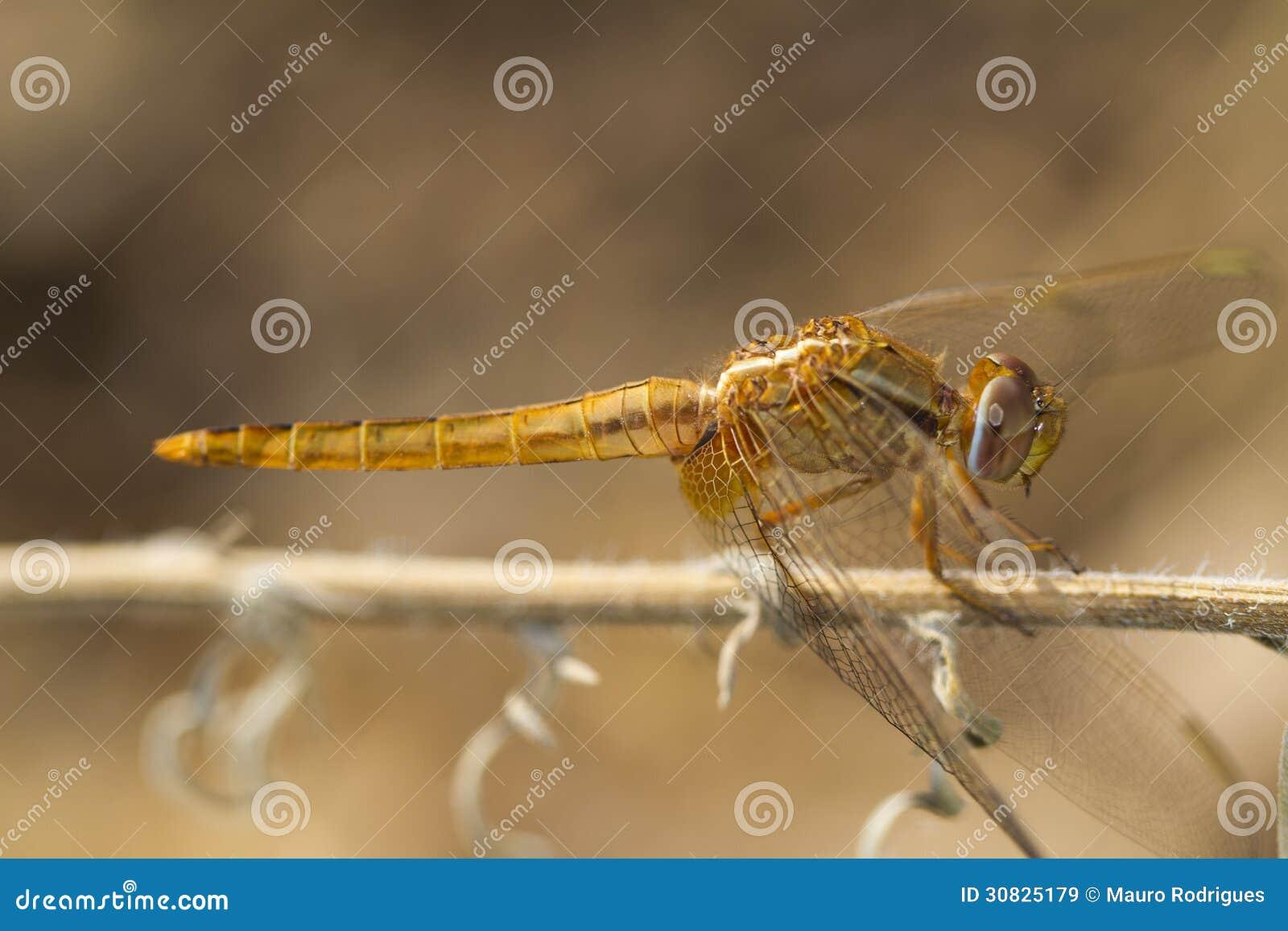 Color scarlatto della libellula del darter (erythraea di Crocothemis)
