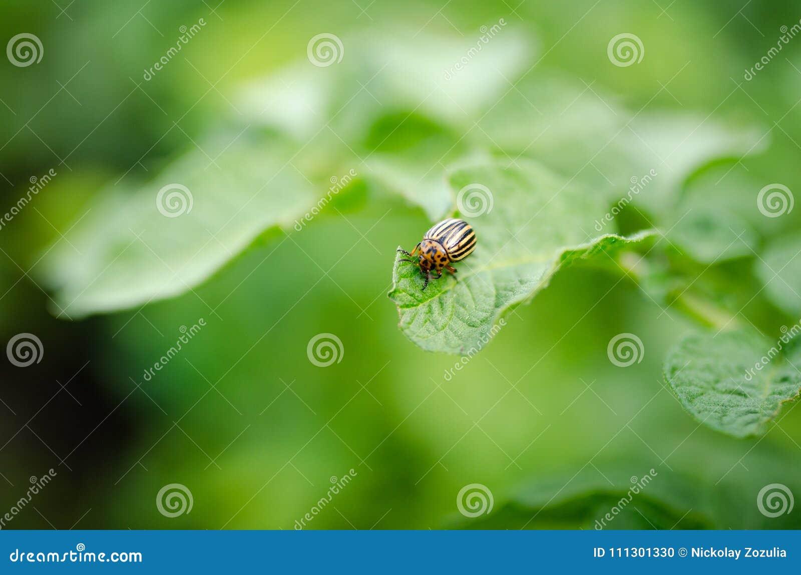 Colorado beetle eats green potato leaves
