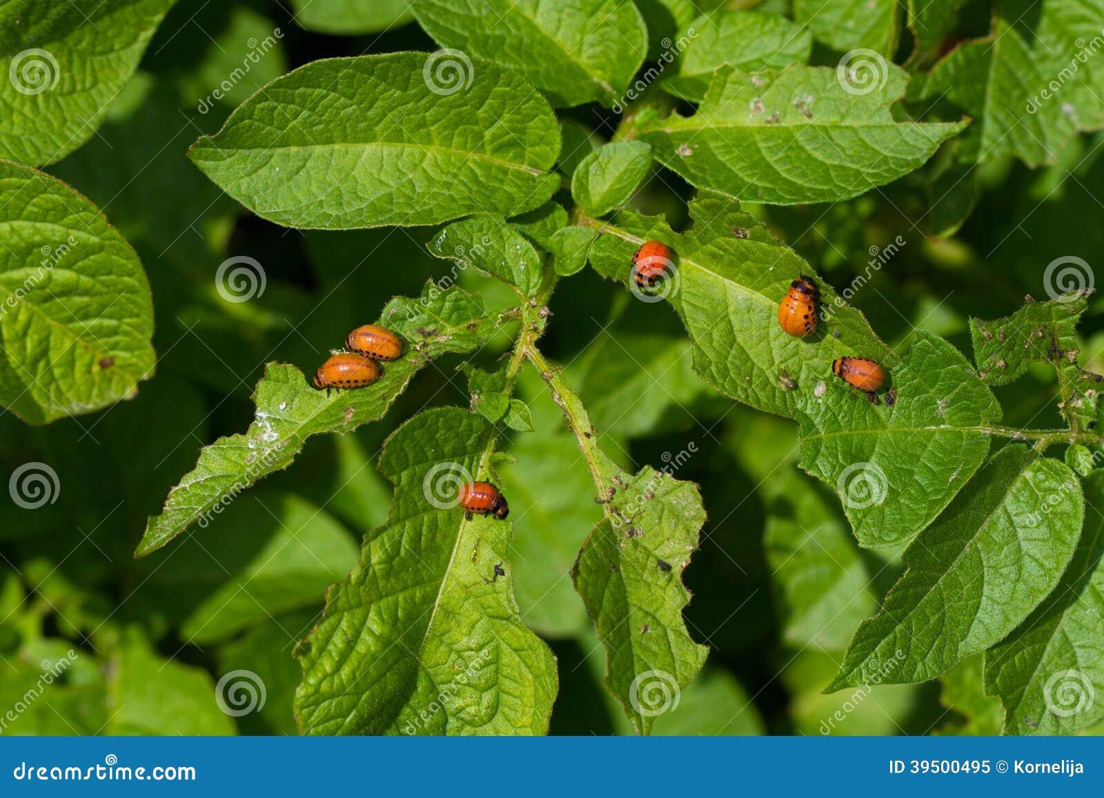 Colorado beetle larvas