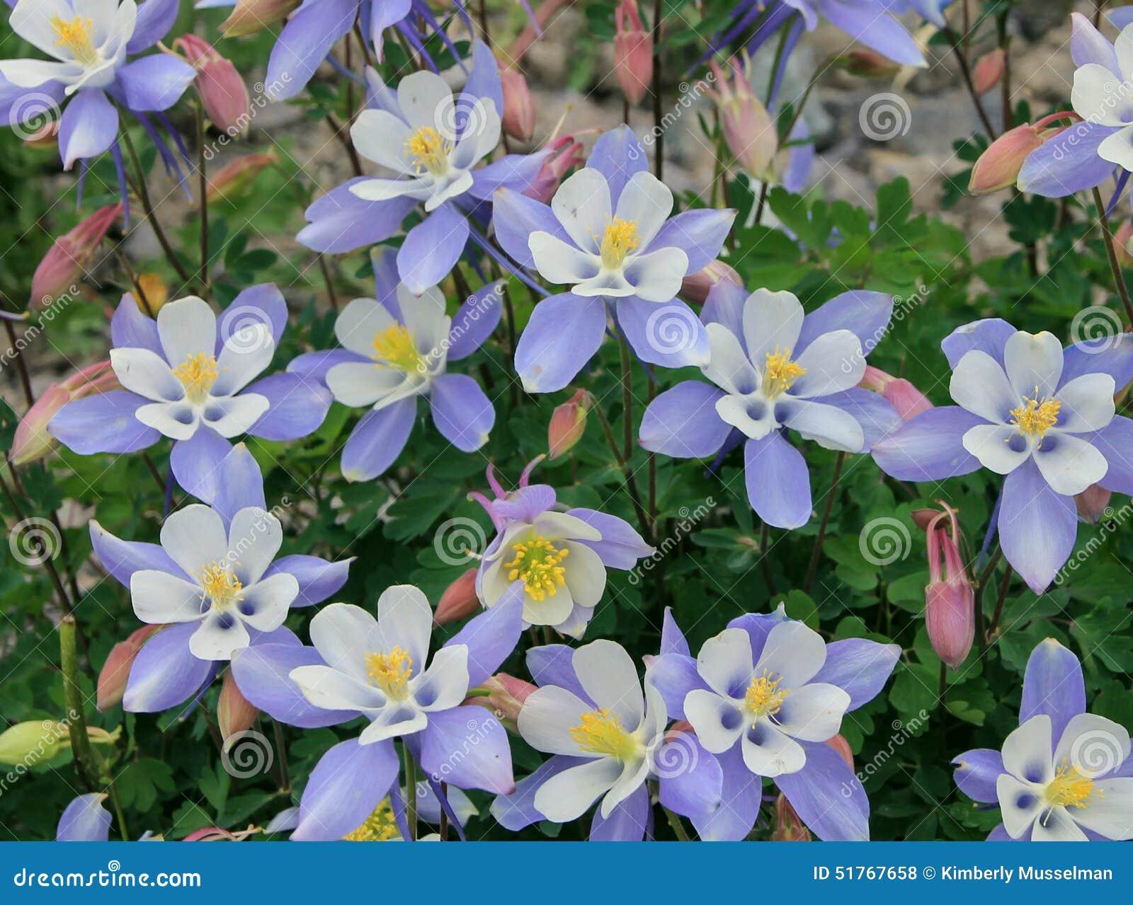 Colorado columbine flowers stock photo 51767658 megapixl izmirmasajfo