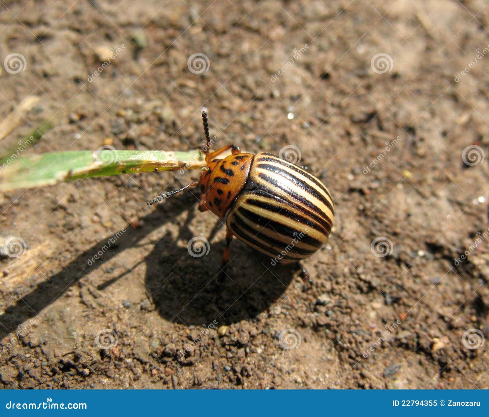 Colorado Potato Beetle Stock Image. Image Of Striped