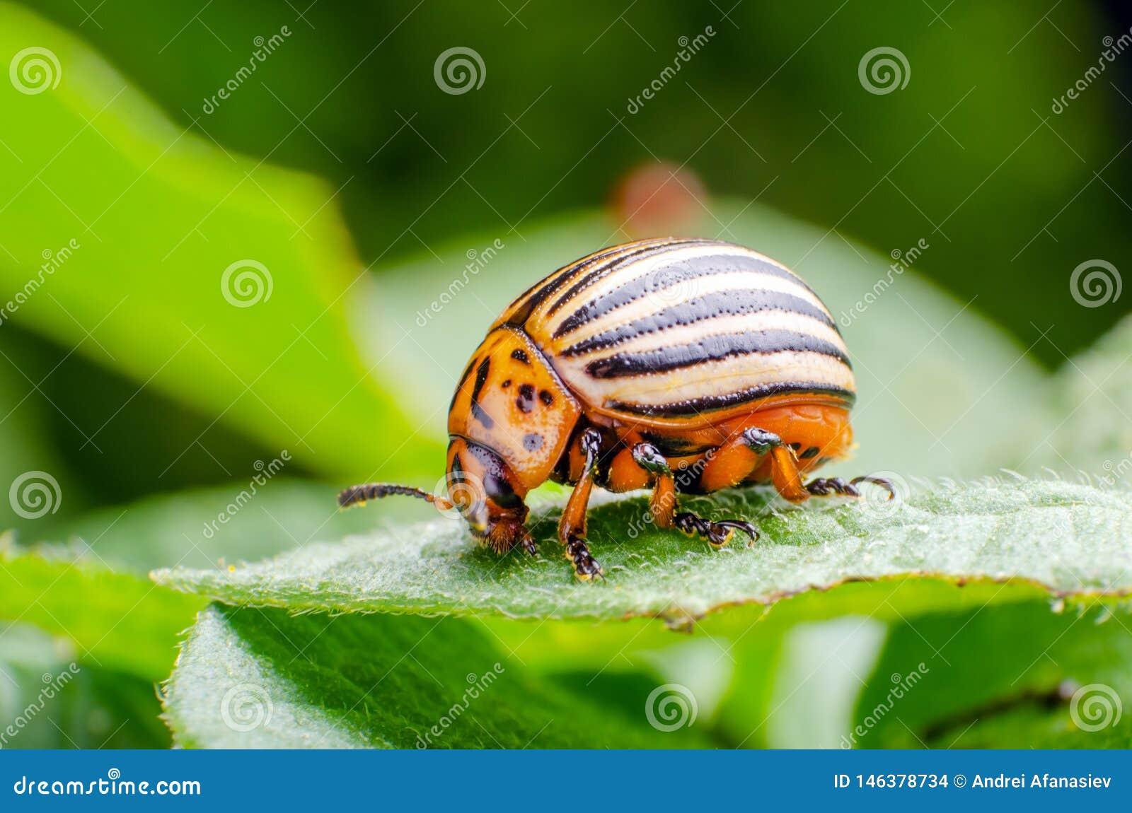 Colorado potato beetle crawling on potato leaves