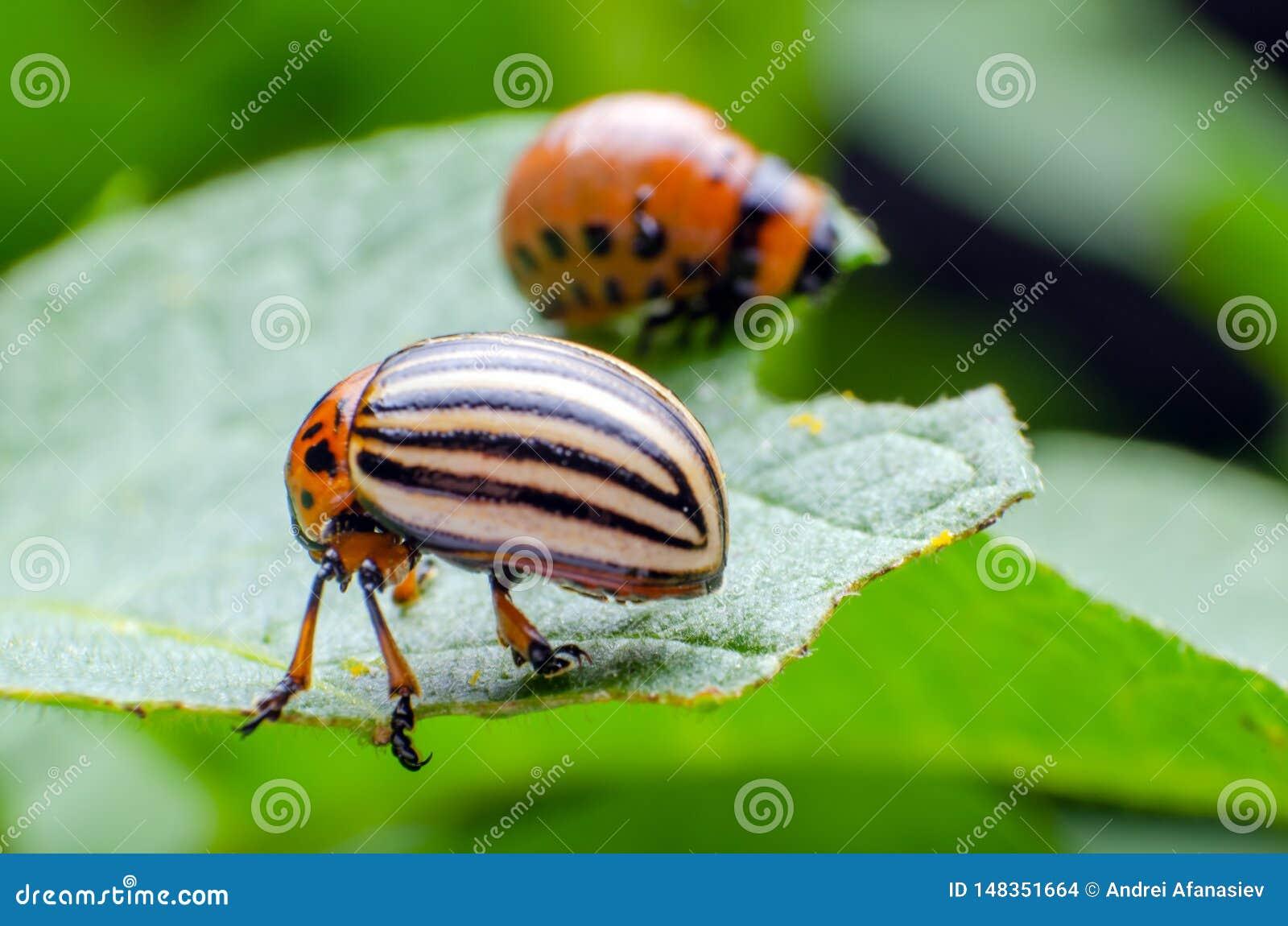 Colorado potato beetle eats green potato leaves