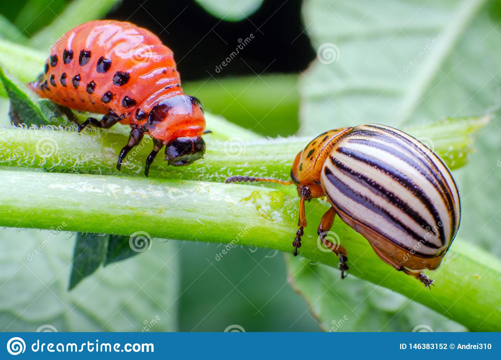 Colorado potato beetle and red larva crawling and eating potato leaves