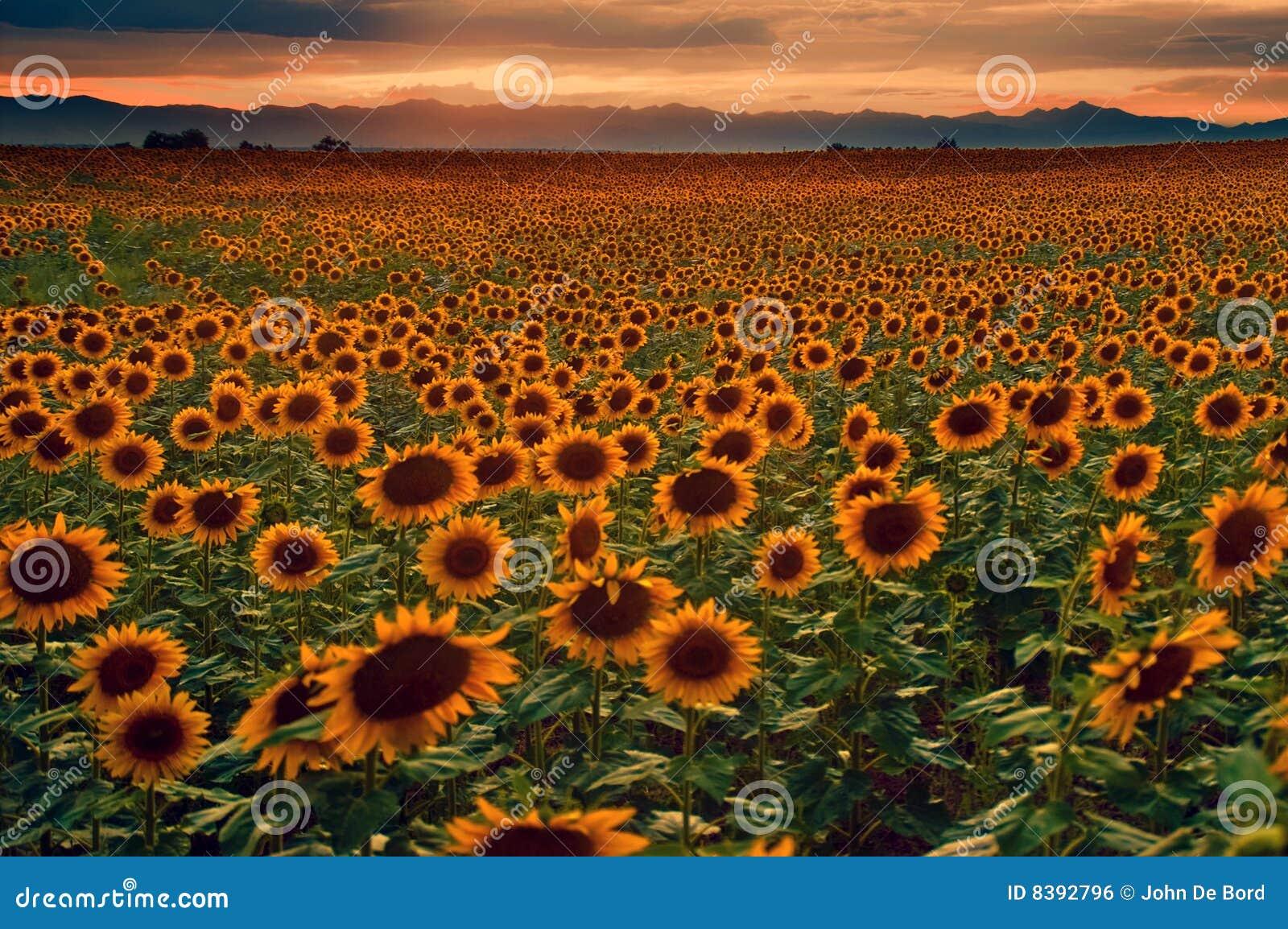 Colorado równiien słoneczników zmierzch