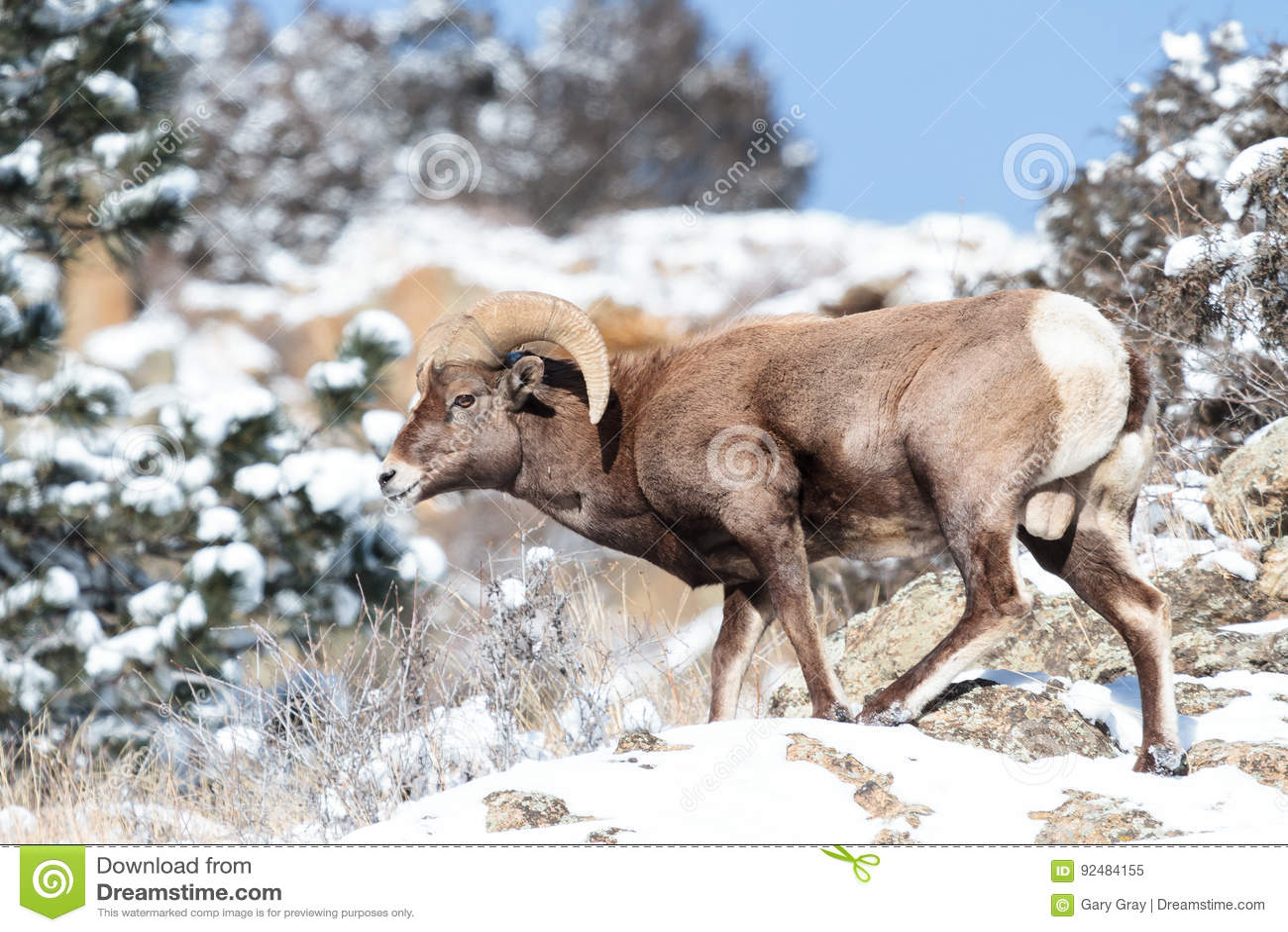Colorado Rocky Mountain Bighorn Sheep