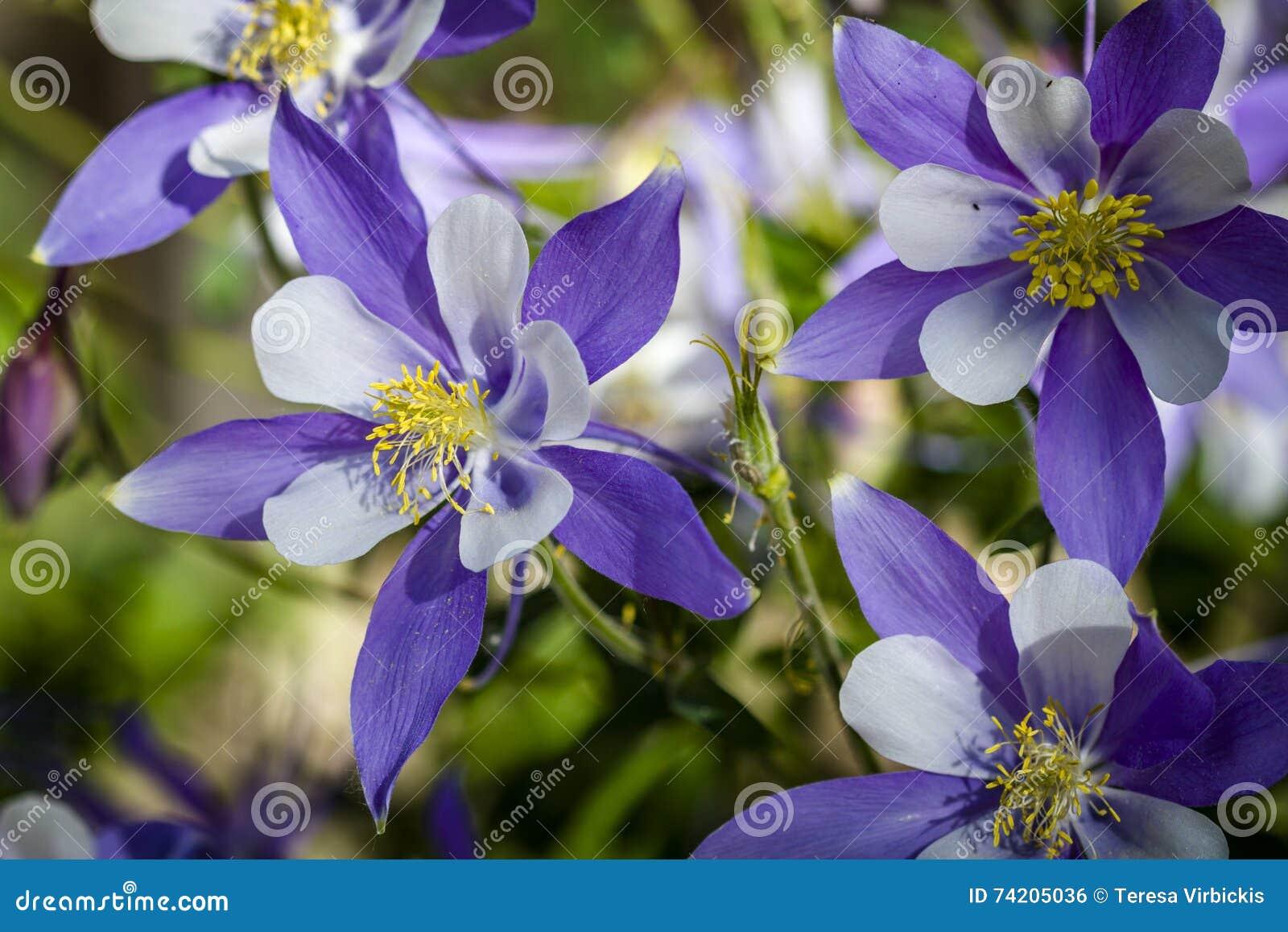 Colorado State Flower Blue Columbines Stock Photo Image Of Plants