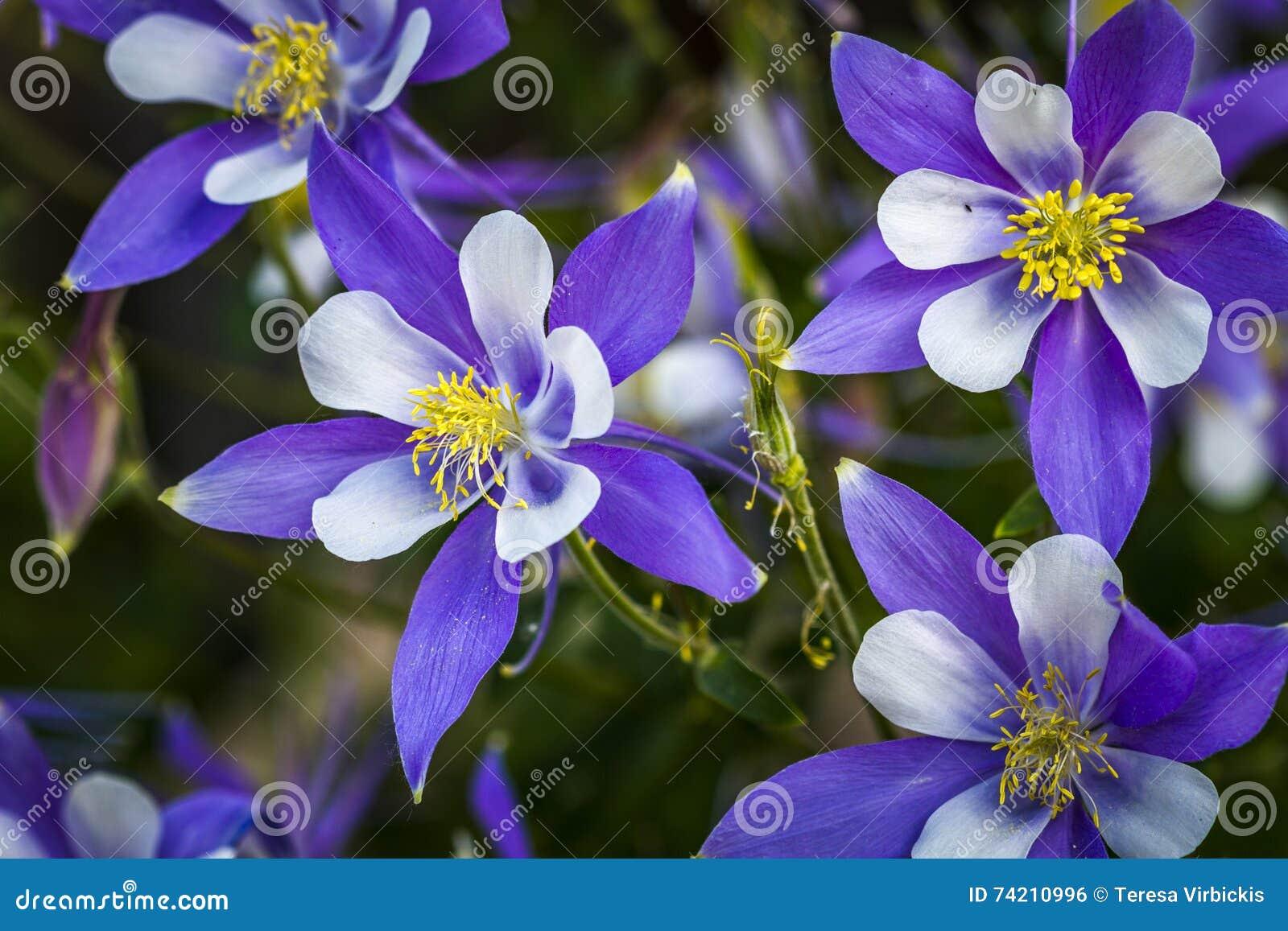 Colorado state flower blue columbines stock photo image of outdoor colorado state flower blue columbines izmirmasajfo Gallery