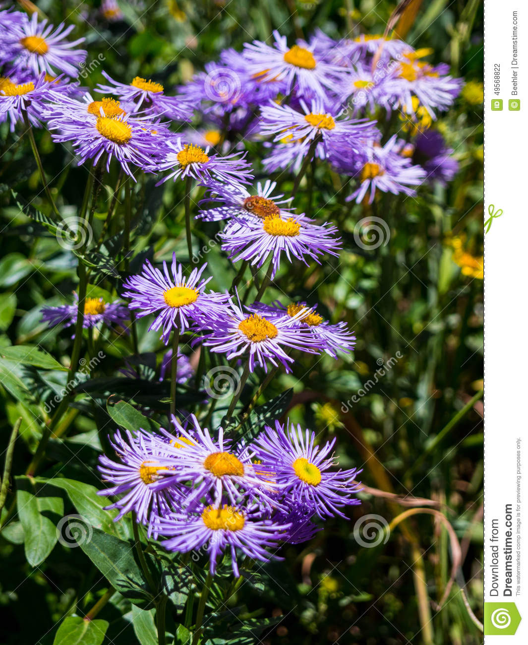 Colorado wildflowers stock photo image of outdoors back 49568822 royalty free stock photo izmirmasajfo Choice Image