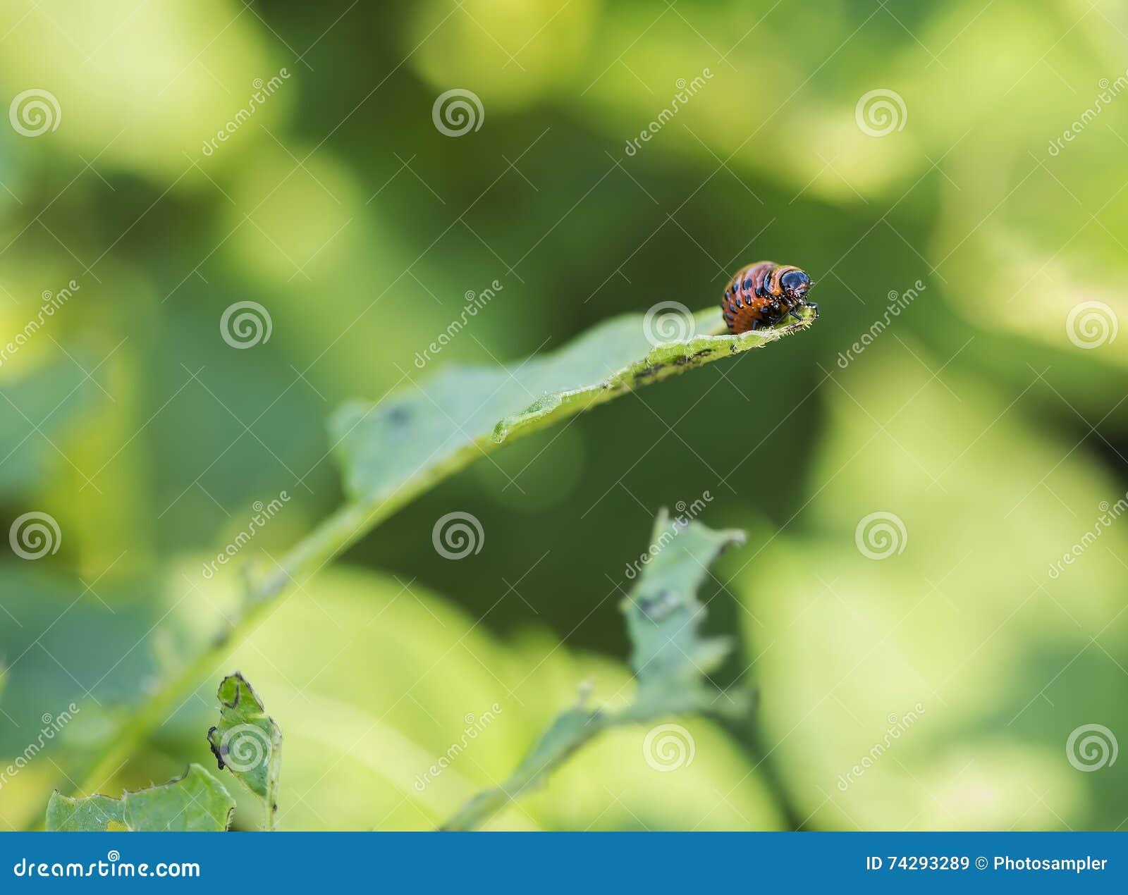 Coloradokever Caterpillar