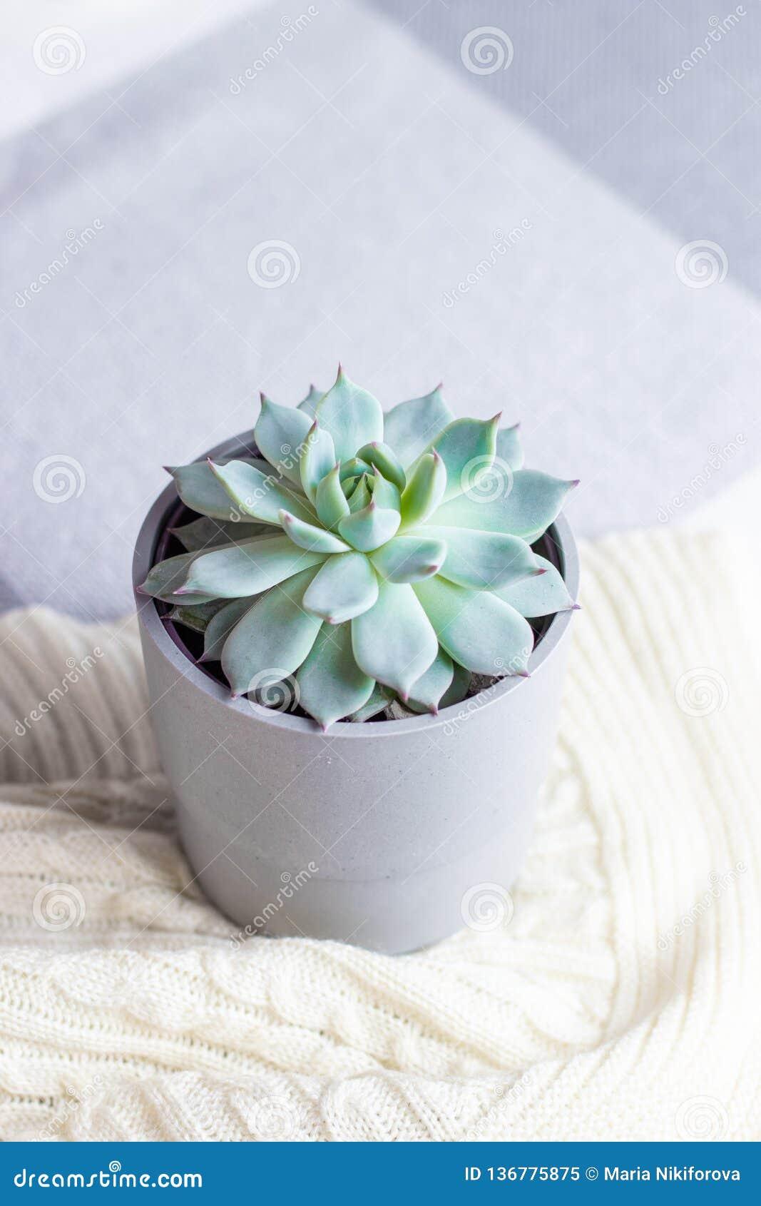 Colorata di Echeveria, fiore succulente raro in un vaso grigio sulla coperta tricottata o plaid, stile minimo, all interno