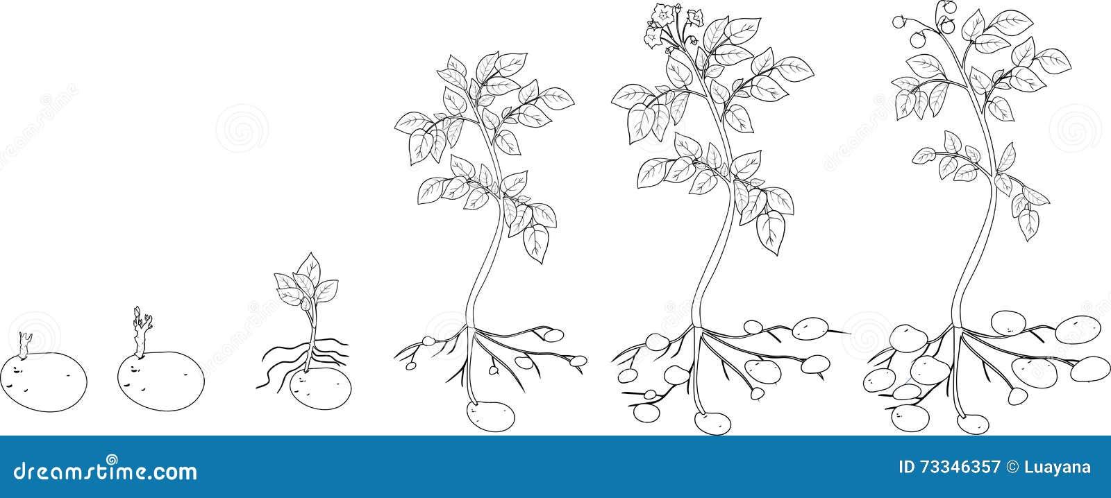 Coloration Avec Le Cycle De Croissance De Plante De Pomme De